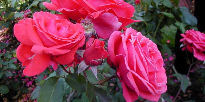 Pripremite svoje ruže za zimu