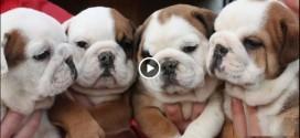 Tata Bulldog i njegovi štenci